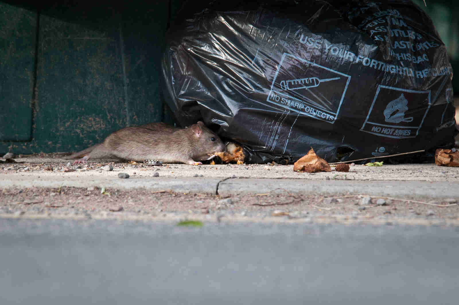 Rat eating from rubbish bag left in the street